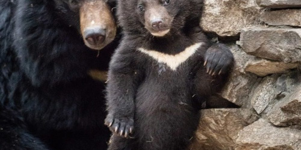 Newborn lunar cubs were shown in Novosibirsk Zoo